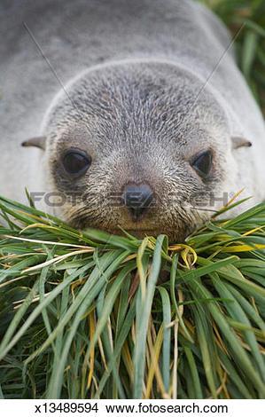 Stock Photo of Baby Antarctic Fur Seal (Arctocephalus gazella) in.
