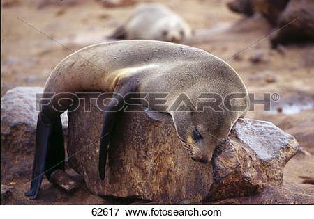 Picture of Brown Fur Seal (Arctocephalus pusillus) sleeping on.