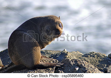 Stock Image of young fur seal.