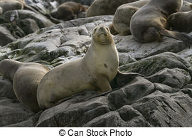 Stock Images of Fur Seal from South American (Arctocephalus.