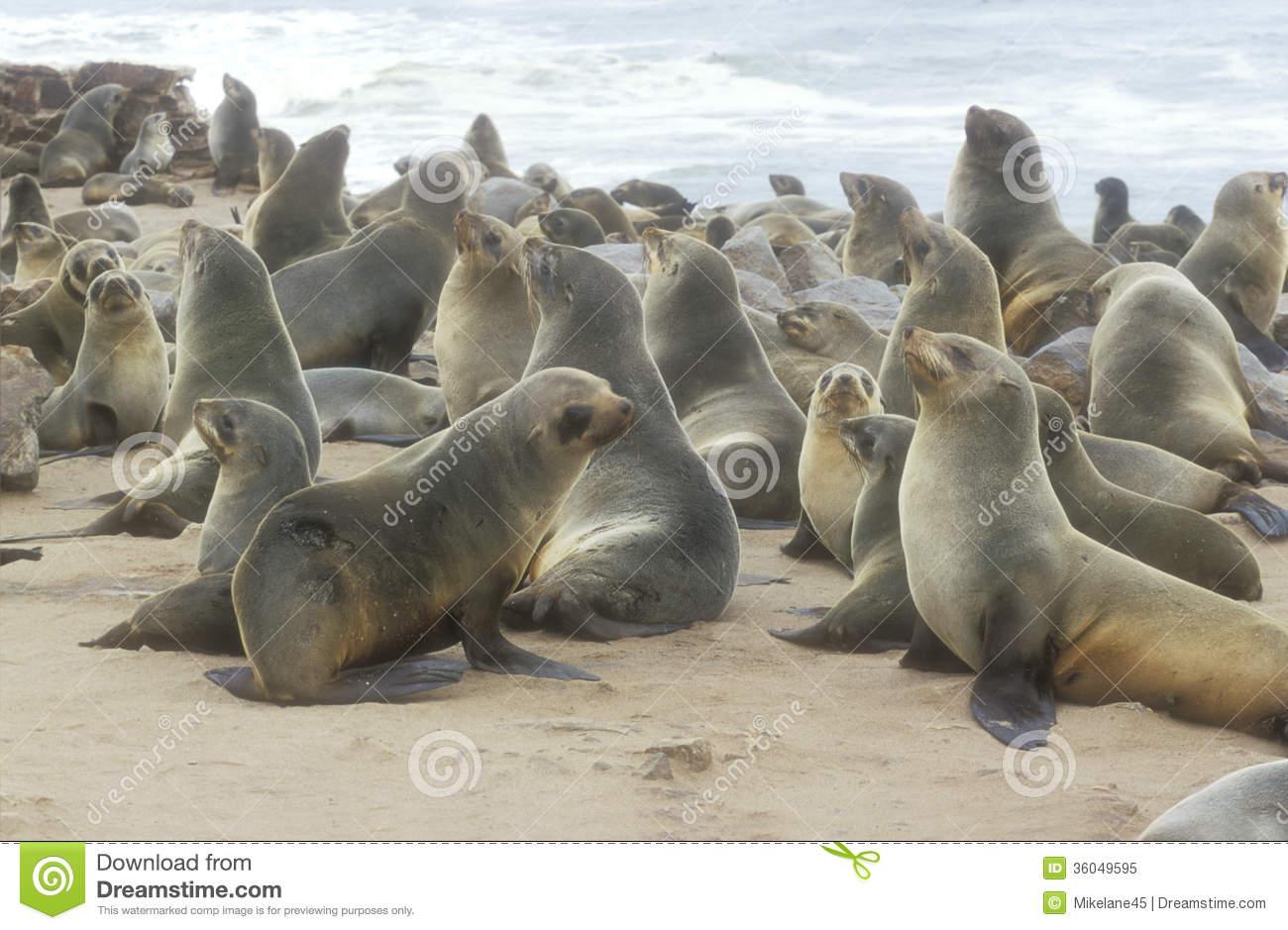 Cape Fur Seal, Arctocephalus Pusillus Royalty Free Stock Photo.