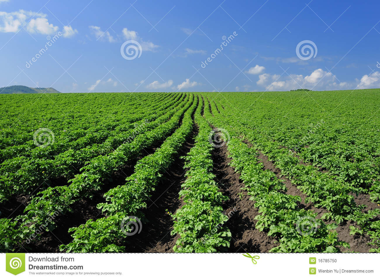 Crops And In The Furrow Stock Photo.