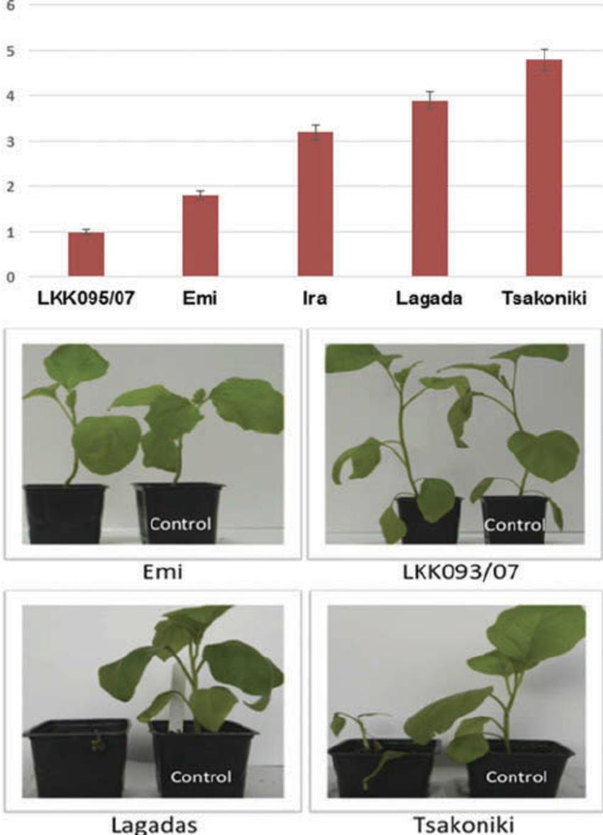 Fusarium wilt severity on eggplant cultivars and landraces.