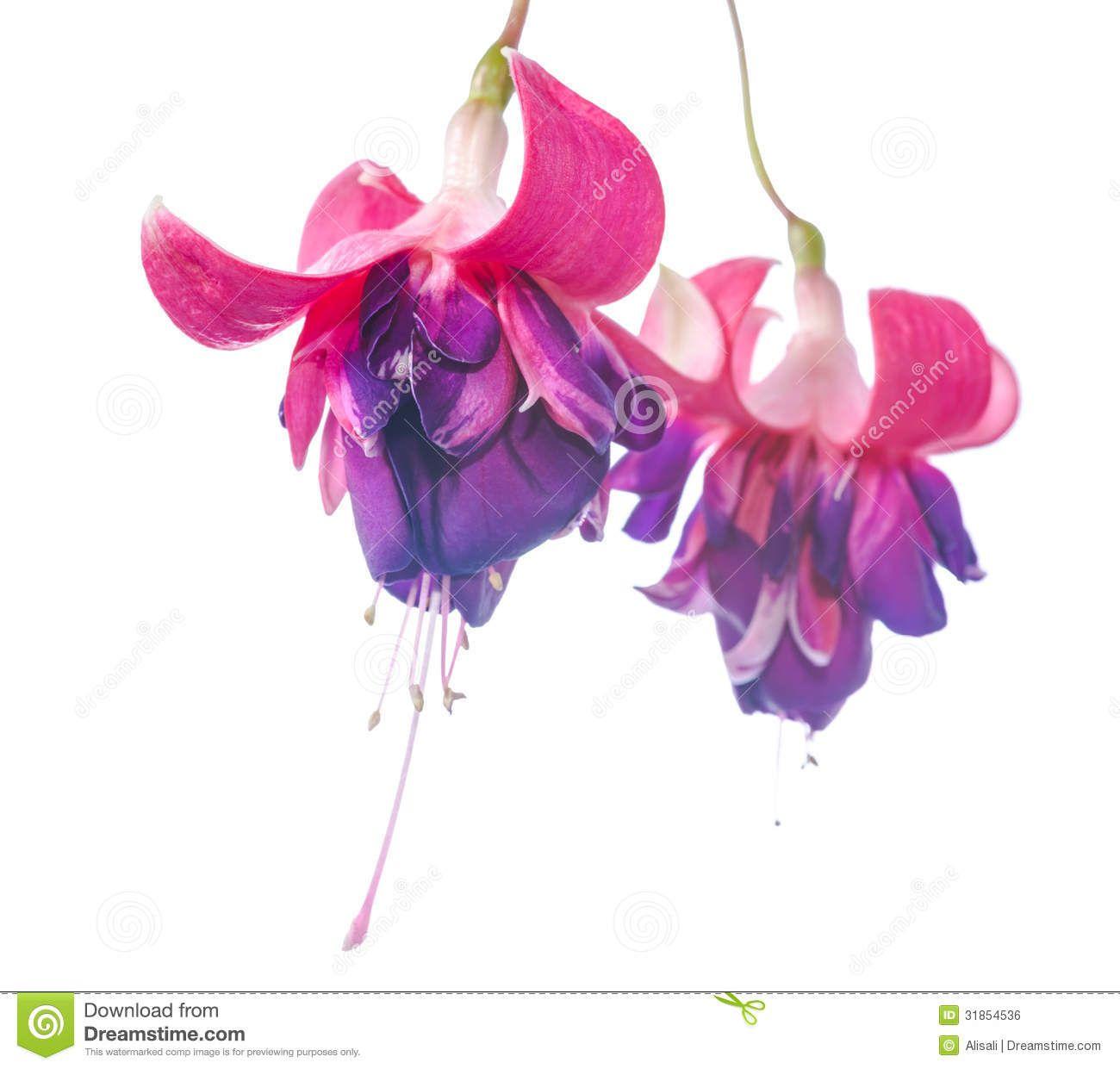 fuschia flower clipart.