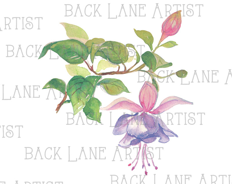 Fuchsia Flowers Watercolor Drawing Clipart Lineart Illustration.