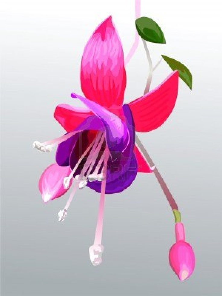 17 Best images about Fuschia flowers on Pinterest.