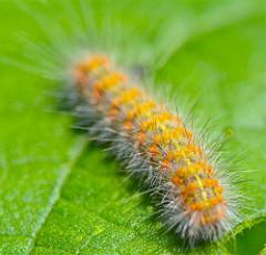 Fuzzy caterpillar clipart 2 » Clipart Station.