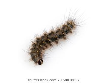 Fuzzy caterpillar clipart 5 » Clipart Station.