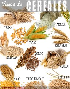 Cereals hand drawn illustration wheat barley rye millet oat rice.