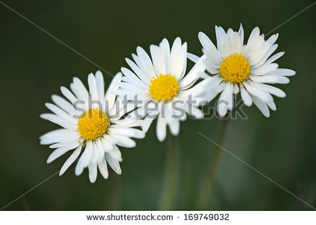 """""""english Daisy"""" Stock Photos, Royalty."""