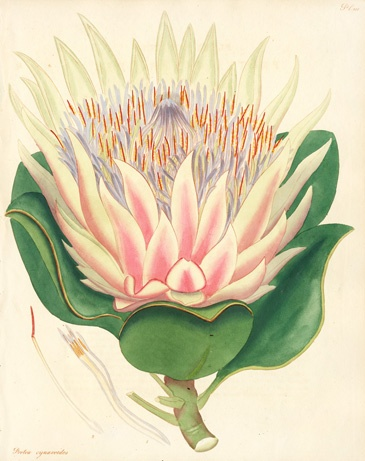 1000+ images about botanical drawings on Pinterest.