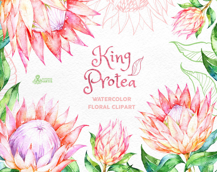 King Protea. Watercolor floral Clipart wedding invitation.