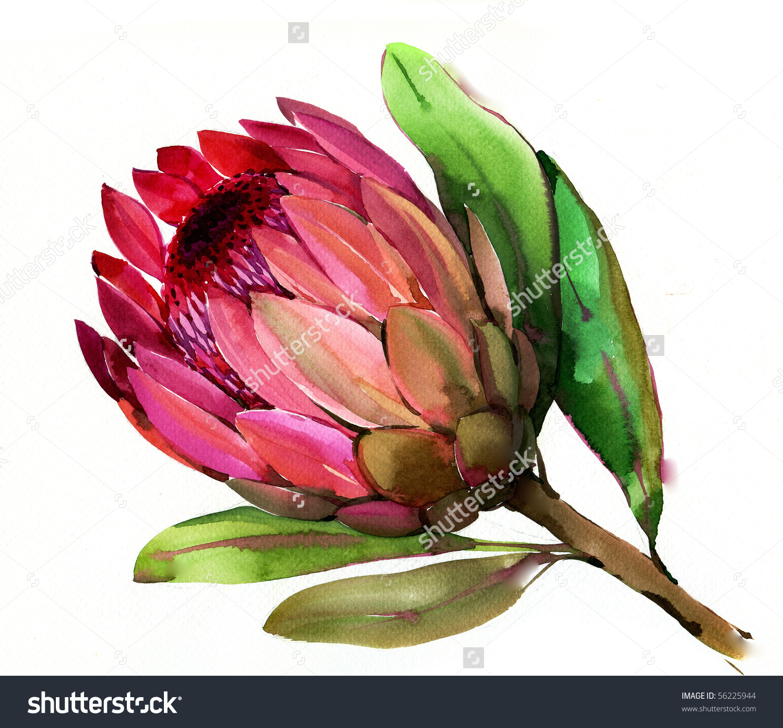 Flower Protea Stock Illustration 56225944.