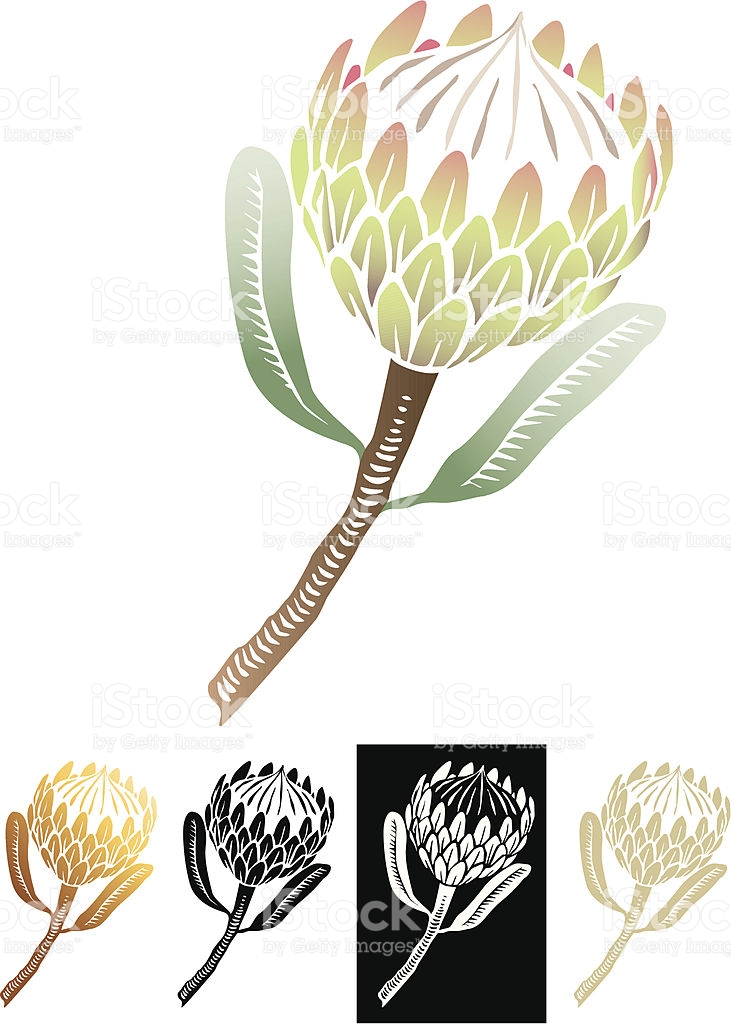 South African Protea Scraperboard Or Linocut Illustration Vector.