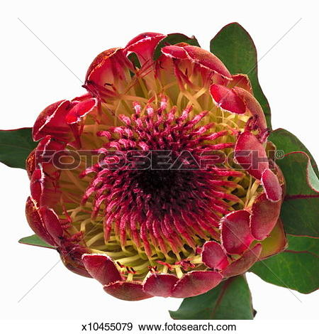 Stock Photograph of Close up of a king protea x10455079.