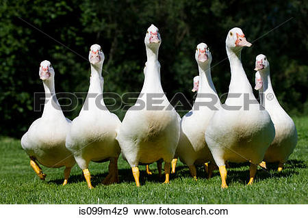 Gaggle Stock Photo Images. 791 gaggle royalty free images and.