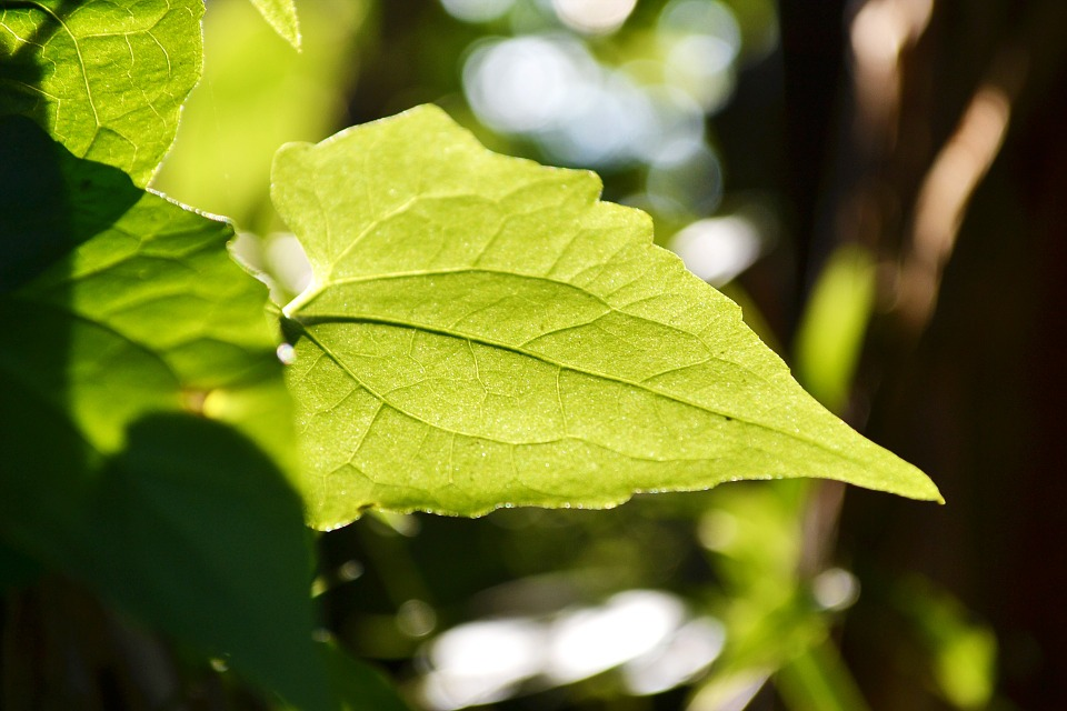 Free photo: Gahala Vine Leaf, Leaf, Back Lit.