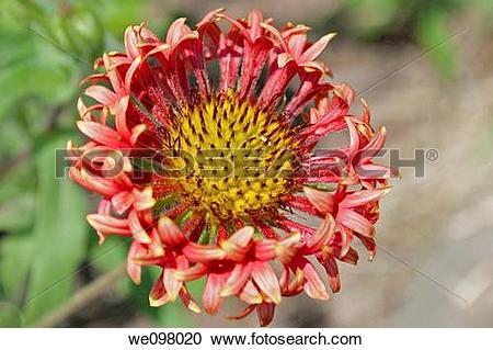 Stock Photography of A fancy hybrid Gaillardia bloom we098020.