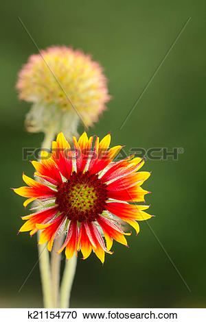 Stock Photography of Gaillardia wild flower k21154770.