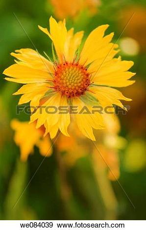Stock Photograph of Yellow Blanket Flower. Gaillardia pulchella.