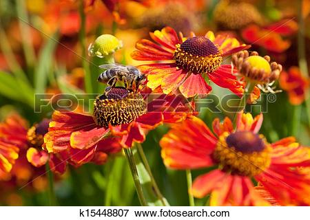 Picture of honey bee sips nectar from gaillardia flower k15448807.