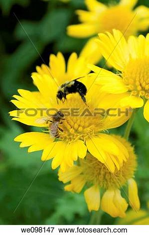 Picture of Two types of bees meeting on a yellow Gaillardia.