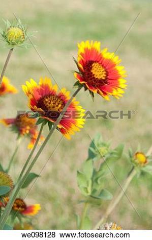 Pictures of Arizona Sun Gaillardia blossoms we098128.