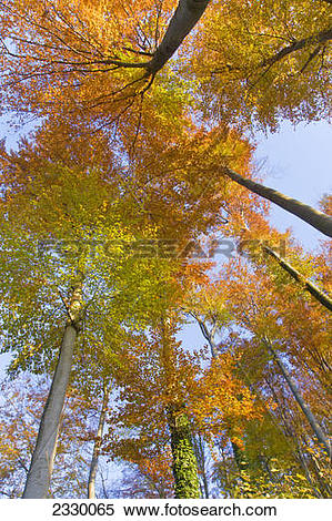 Stock Image of Low angle view of beech trees in park, Aigner Park.