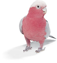 Cockatoo Rose Breasted.