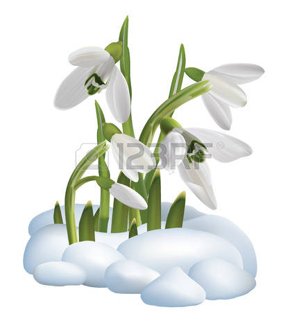 1,955 Snowdrop Cliparts, Stock Vector And Royalty Free Snowdrop.