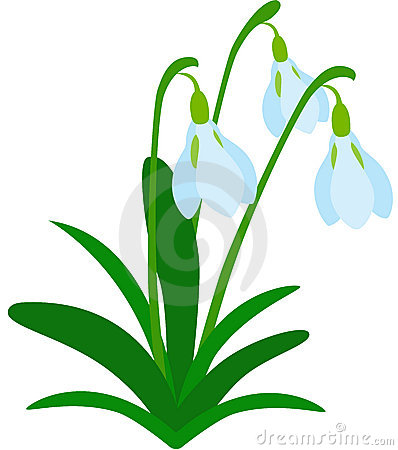 Bunch Snowdrops Stock Illustrations.