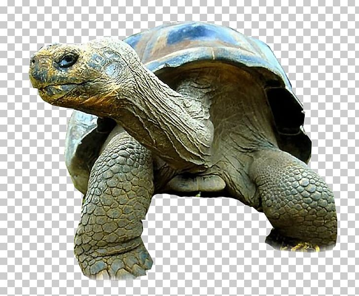 Turtle Galápagos Tortoise Reptile Giant Tortoise Primate PNG.