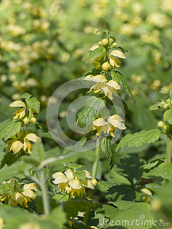 Yellow Archangel Or Artillery Plant (Lamium Galeobdolon) Stock.