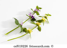 Lamium Stock Photos and Images. 259 lamium pictures and royalty.