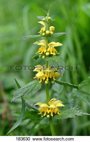 Stock Photography of Yellow Archangel, Golden Deadnettle, Weasel's.
