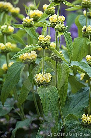 Yellow Archangel (Galeobdolon Luteum Or Lamium Galeobdolon) Stock.