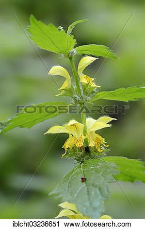 "Stock Photography of ""Yellow Archangel, nettle (Lamium galeobdolon."