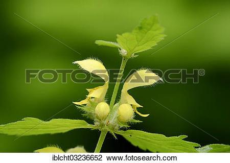 "Stock Photo of ""Yellow Archangel, nettle (Lamium galeobdolon."