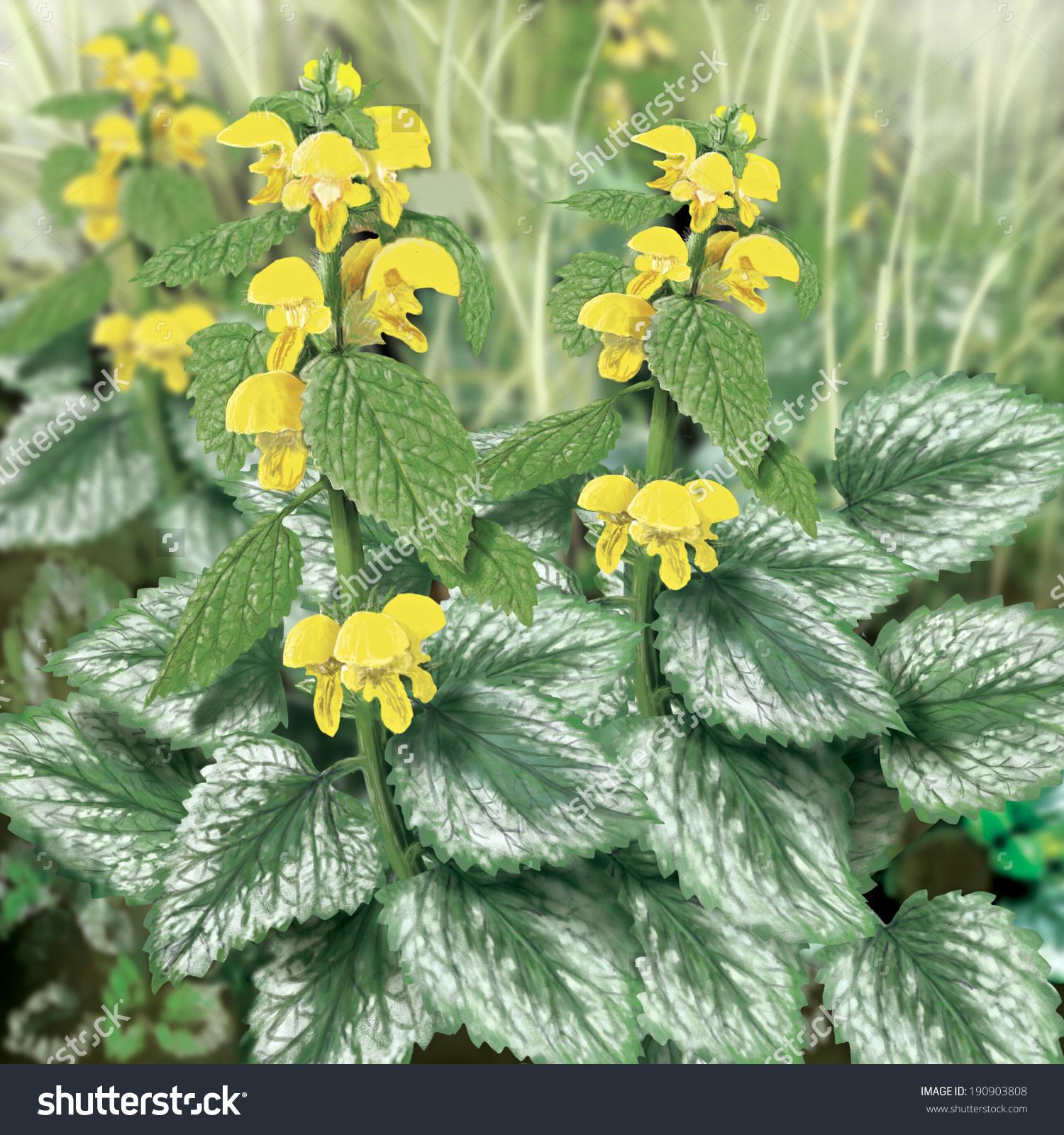Yellow Archangel Lamium Galeobdolon Herb Illustrate Stock.