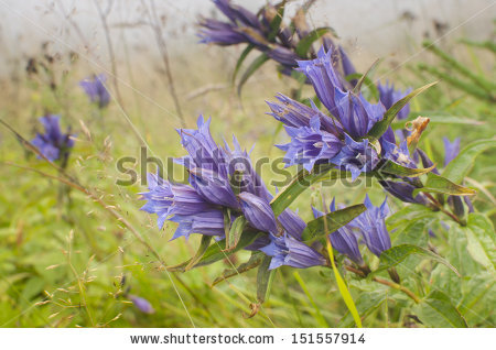 Meadowswet Stock Photos, Images, & Pictures.