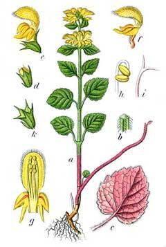 Lamium galeobdolon Yellow Archangel PFAF Plant Database.