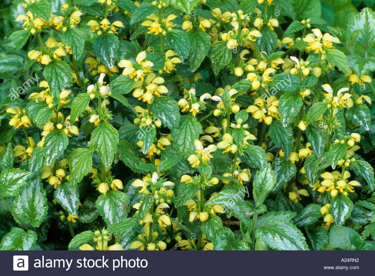 Lamium Galeobdolon 'variegatum', Syn. L. G. Montanum 'florentinum.