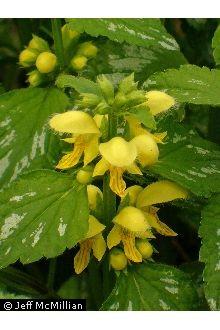 Plants Profile for Lamiastrum galeobdolon (yellow archangel).