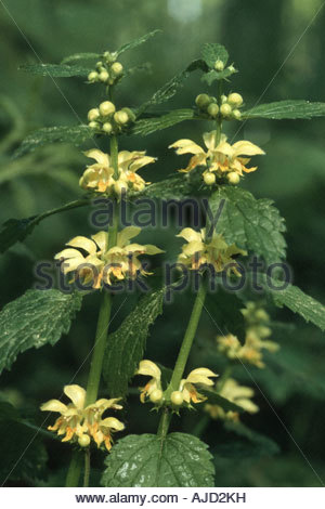 Luteum Stock Photos & Luteum Stock Images.