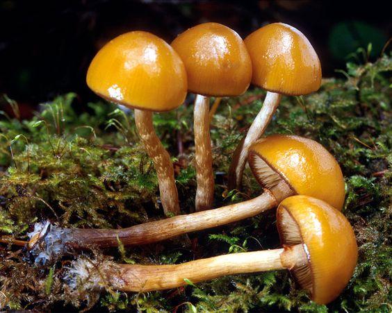 Galerina autumnalis (Deadly Galerina) Death.