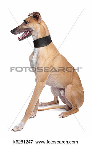 Picture of Greyhound, Whippet, Galgo dog k6281247.