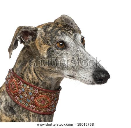Galgo Espanol Dog Stock Images, Royalty.