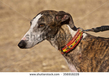 Galgo Stock Images, Royalty.
