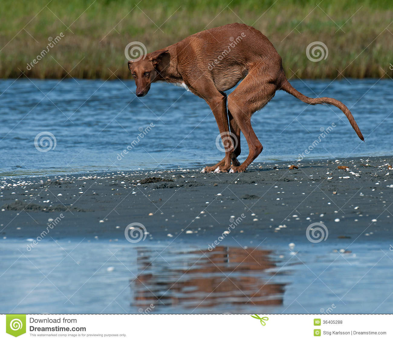 Galgo Español Gazehounds Poops On The Beach Royalty Free Stock.