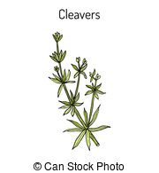 Galium Illustrations and Clipart. 9 Galium royalty free.
